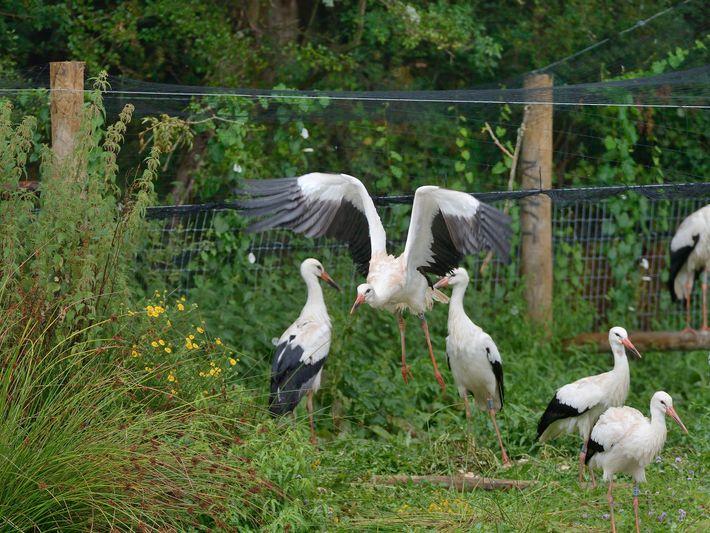 Dieser Weißstorch (Ciconia ciconia) wurde in Gefangenschaft aufgezogen. Hier fliegt er am Tag seiner Freilassung aus ...