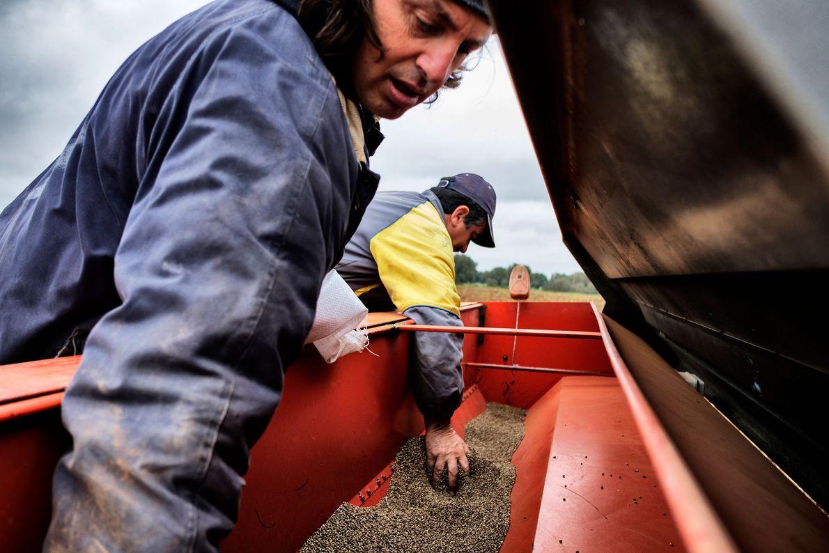 Bauern füllen Hanfsamen in eine Präzisionssähmaschine