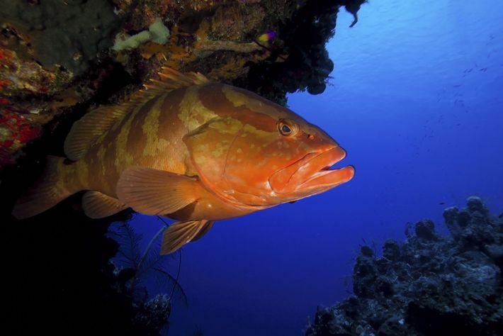 Nassau-Zackenbarsche