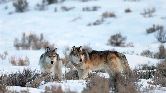 Streitfrage Wolf: Warum der Schutz der Raubtiere die Gesellschaft spaltet