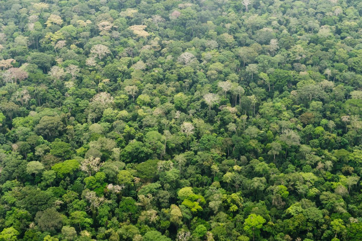 Der Regenwald im Dzanga-Sangha-Schutzgebiet in der Zentralafrikanischen Republik. Tropische Regenwälder absorbieren Kohlendioxid und können so beim ...