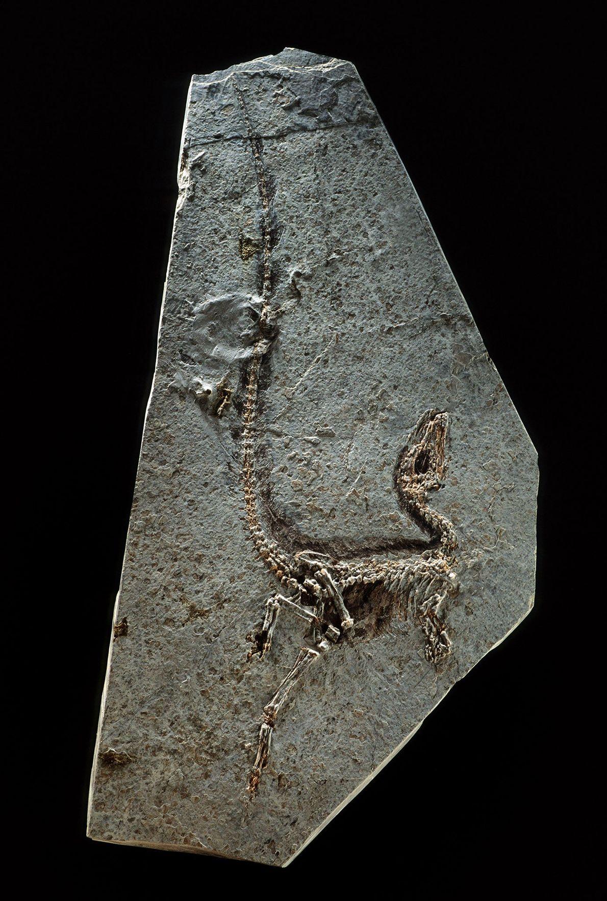 Sinosauropteryx prima aus der nordöstlichen chinesischen Provinz Liaoning wurde 1996 gefunden und gilt als erster bekannter ...