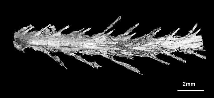 Bilder des Scans vom Dinosaurierschwanz