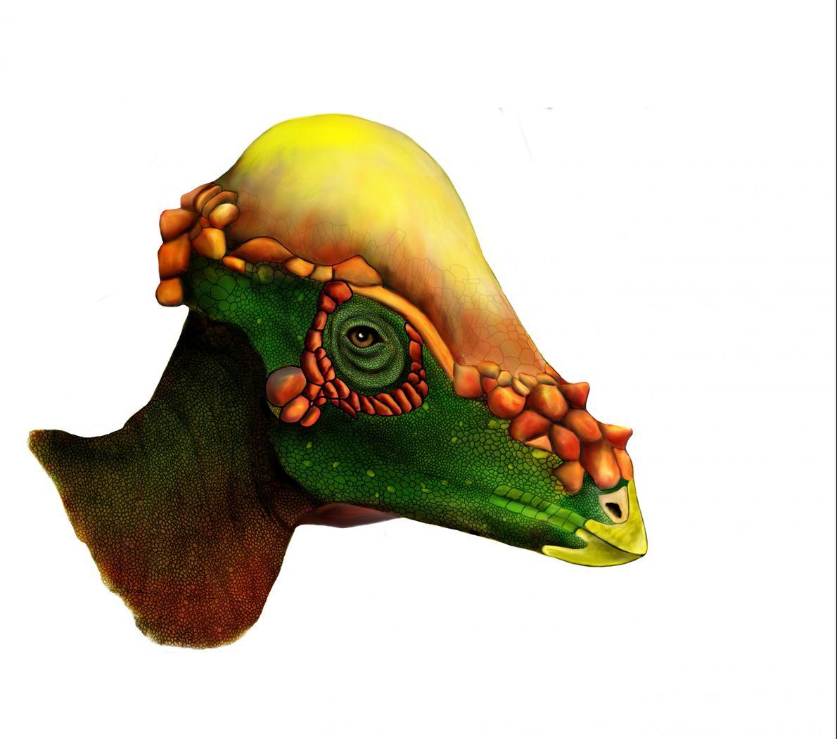 Ein ausgewachsener und vermutlich geschlechtsreifer Pachycephalosaurus hatte eine breitere Schädelwölbung. Die schmückenden Elemente an der Hinterseite ...