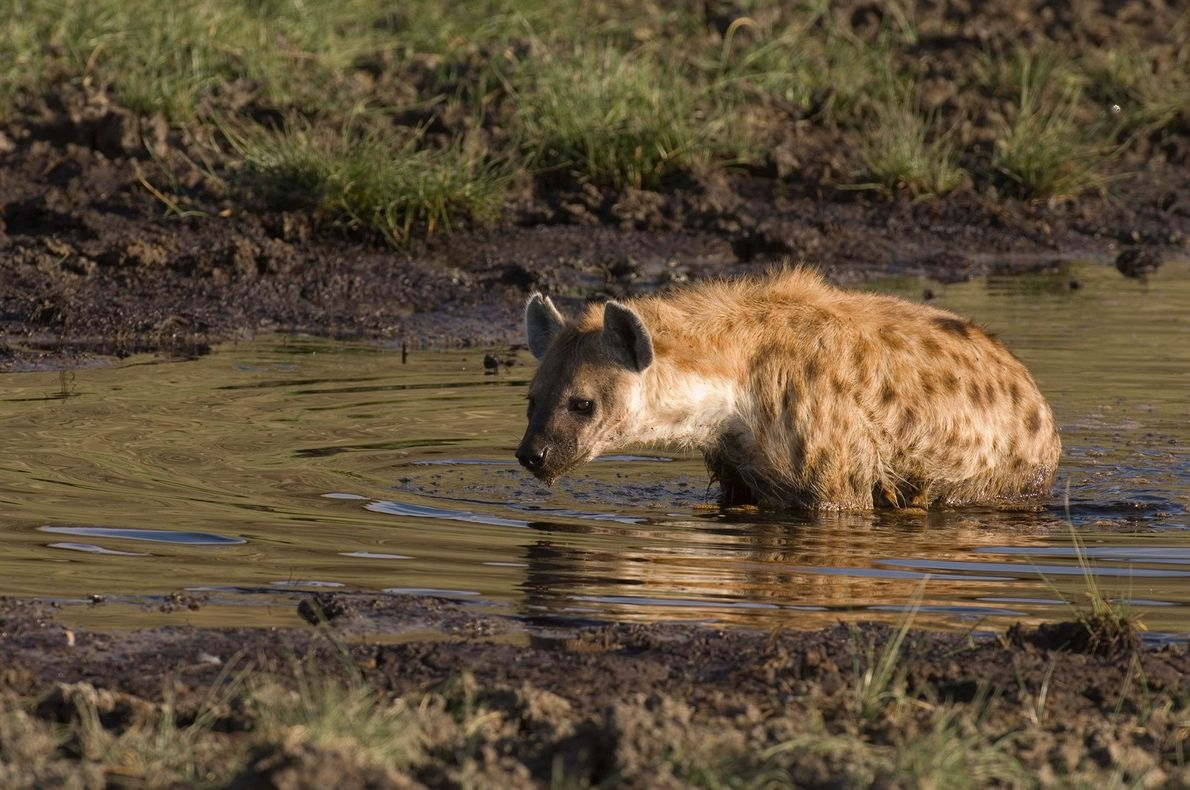 Hyäne trinkt Wasser