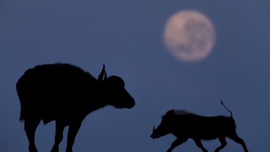 Büffel und Warzenschwein bei Mondlicht