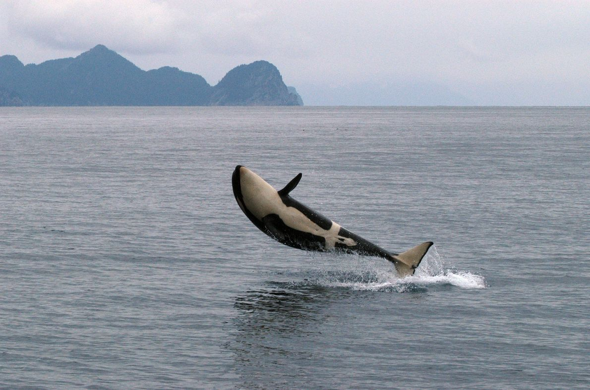 In Alaska springt ein Orca aus dem Wasser.
