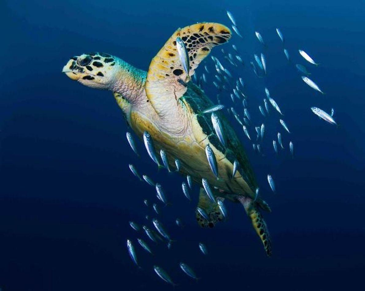 Eine Echte Karettschildkröte schwimmt zusammen mit ein paar Köderfischen.