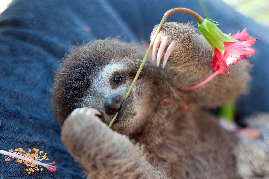 Das Dreifinger-Faultier Monster ist erst einen Monat alt und spielt hier mit dem Stiel einer Hibiskusblüte ...