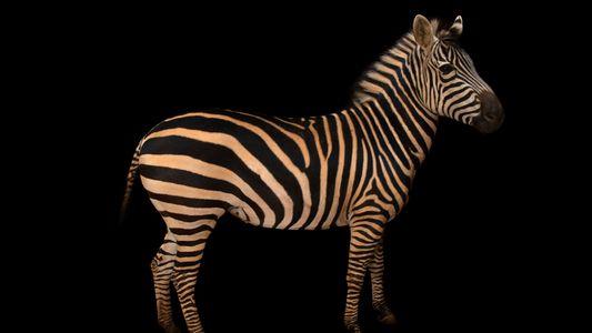 Haben Zebras auch Streifen auf ihrer Haut?