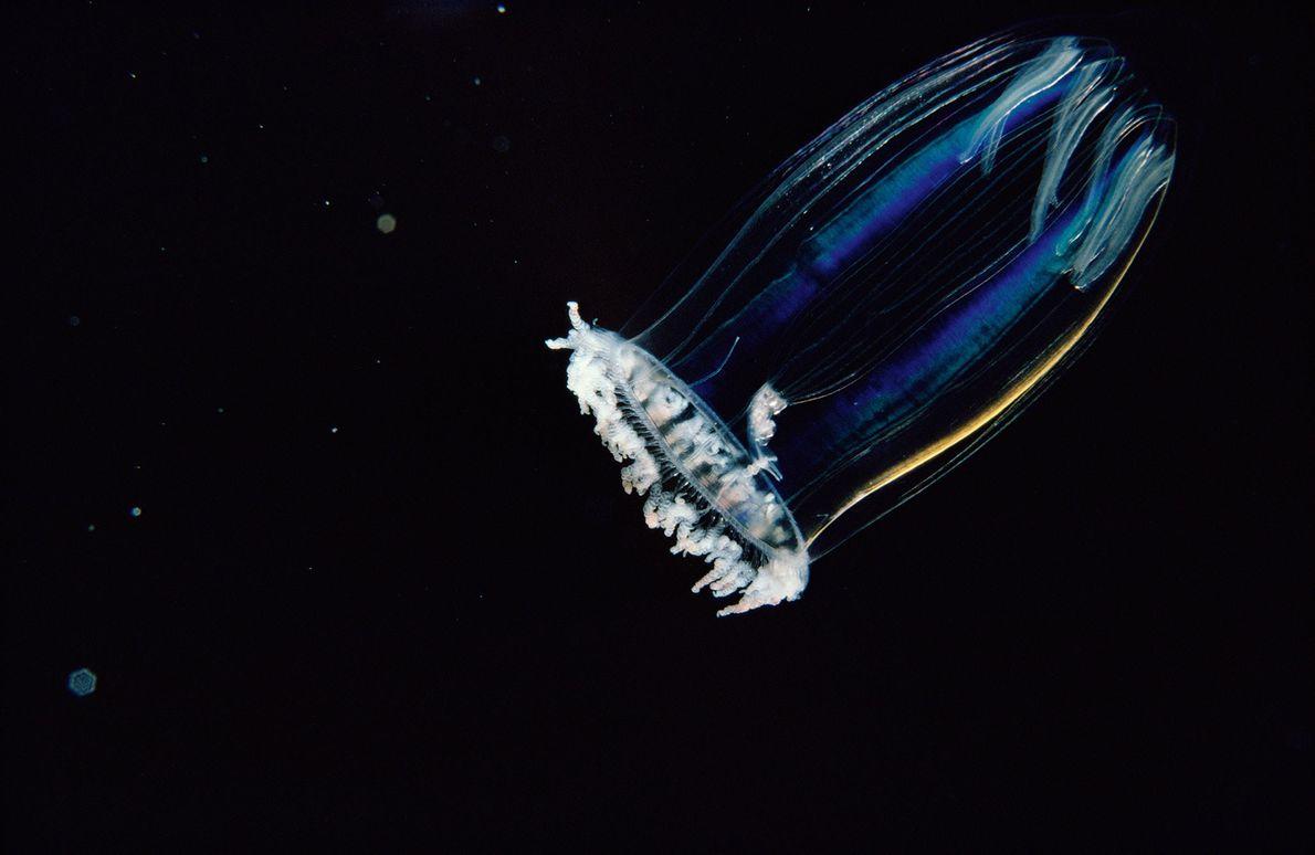Zooplankton-Organismus