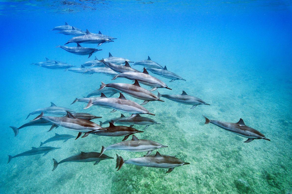 Spinnerdelfine (Stenella longirostris), hier vor Oahu in Hawaii