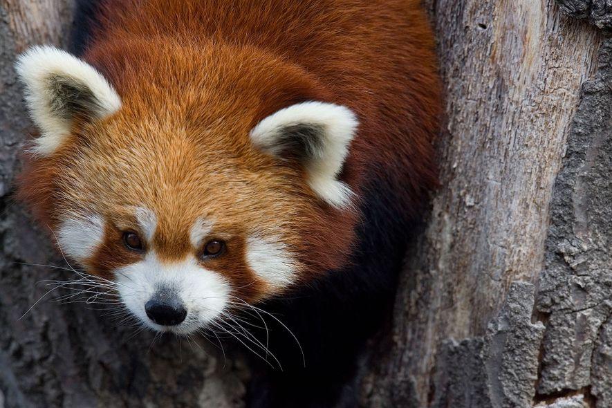Herzerwärmende Bilder vom Roten Panda
