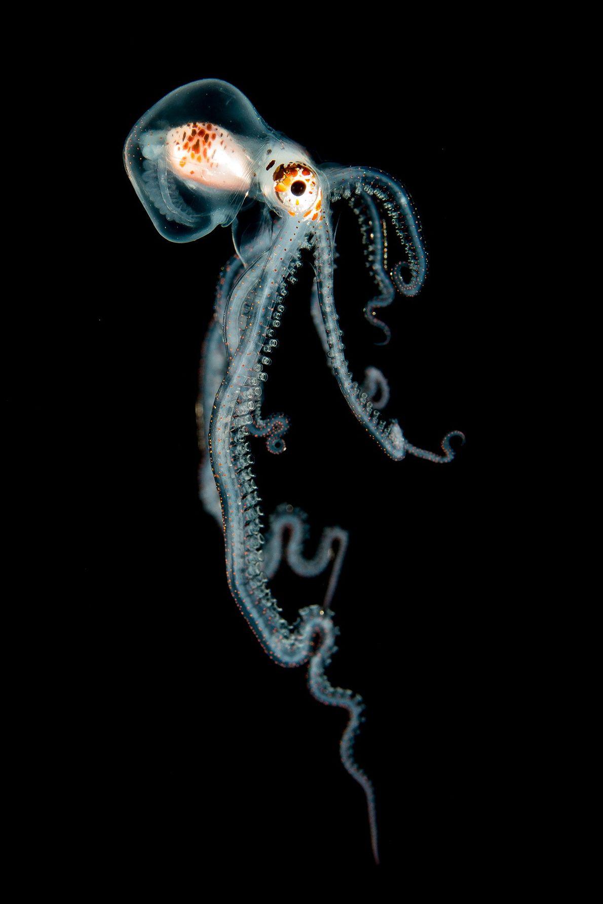 Pelagischer Oktopus bei Nacht