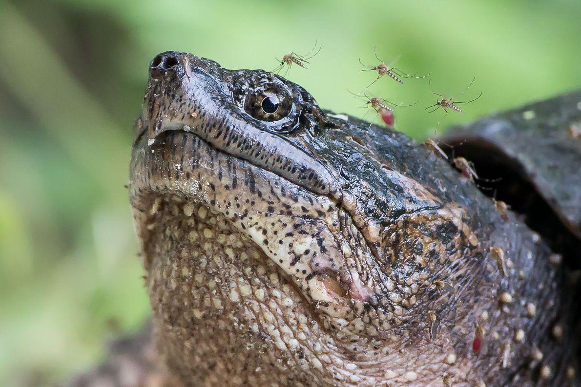 Ein Mückenschwarm attackiert eine Schnappschildkröte. Jedes Jahr tummeln sich die Tiere im Feuchtgebiet des Bombay Hook ...