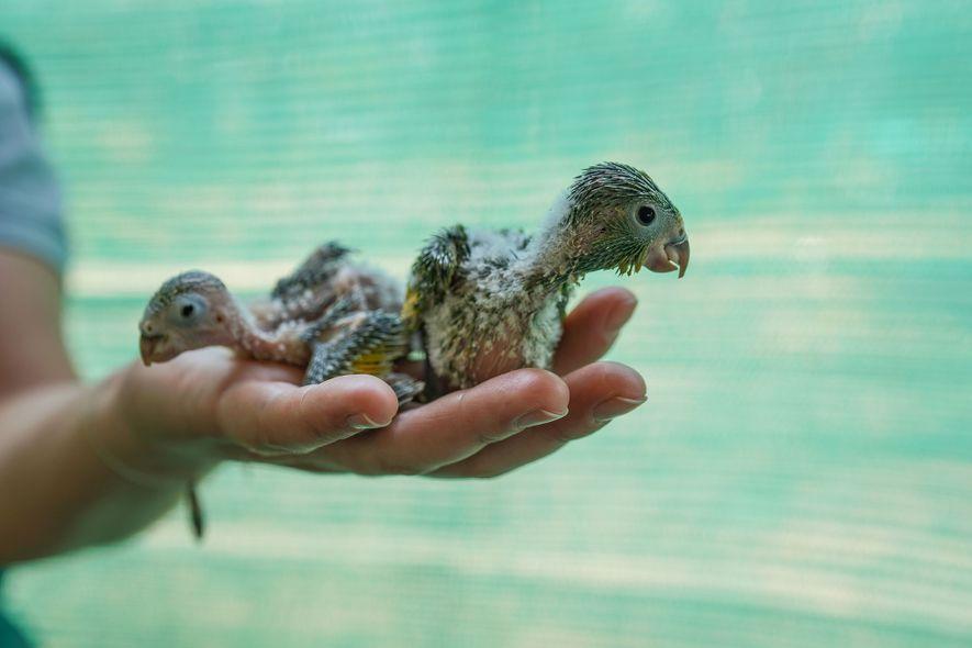 Diese Papageienküken werden im Rettungszentrum in Aguas Calientes betreut. Sie wurden von Mitgliedern des Ayoreos-Stammes gerettet, ...