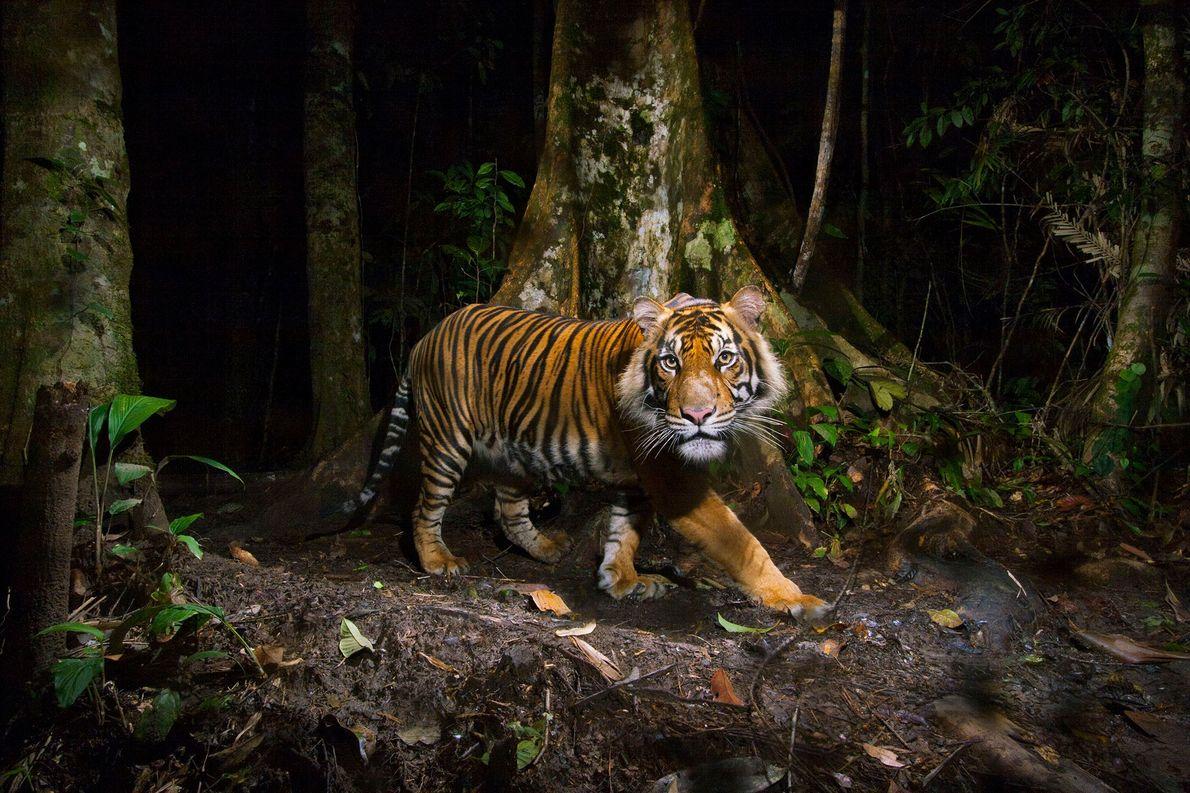 Eine ferngesteuerte Kamera nimmt einen Sumatra-Tiger auf Sumatra in Indonesien bei der Jagd auf.
