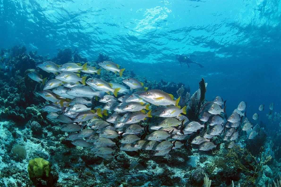 Ein Taucher in Belize beobachtet die Grunzer und Schnapper des Riffs.