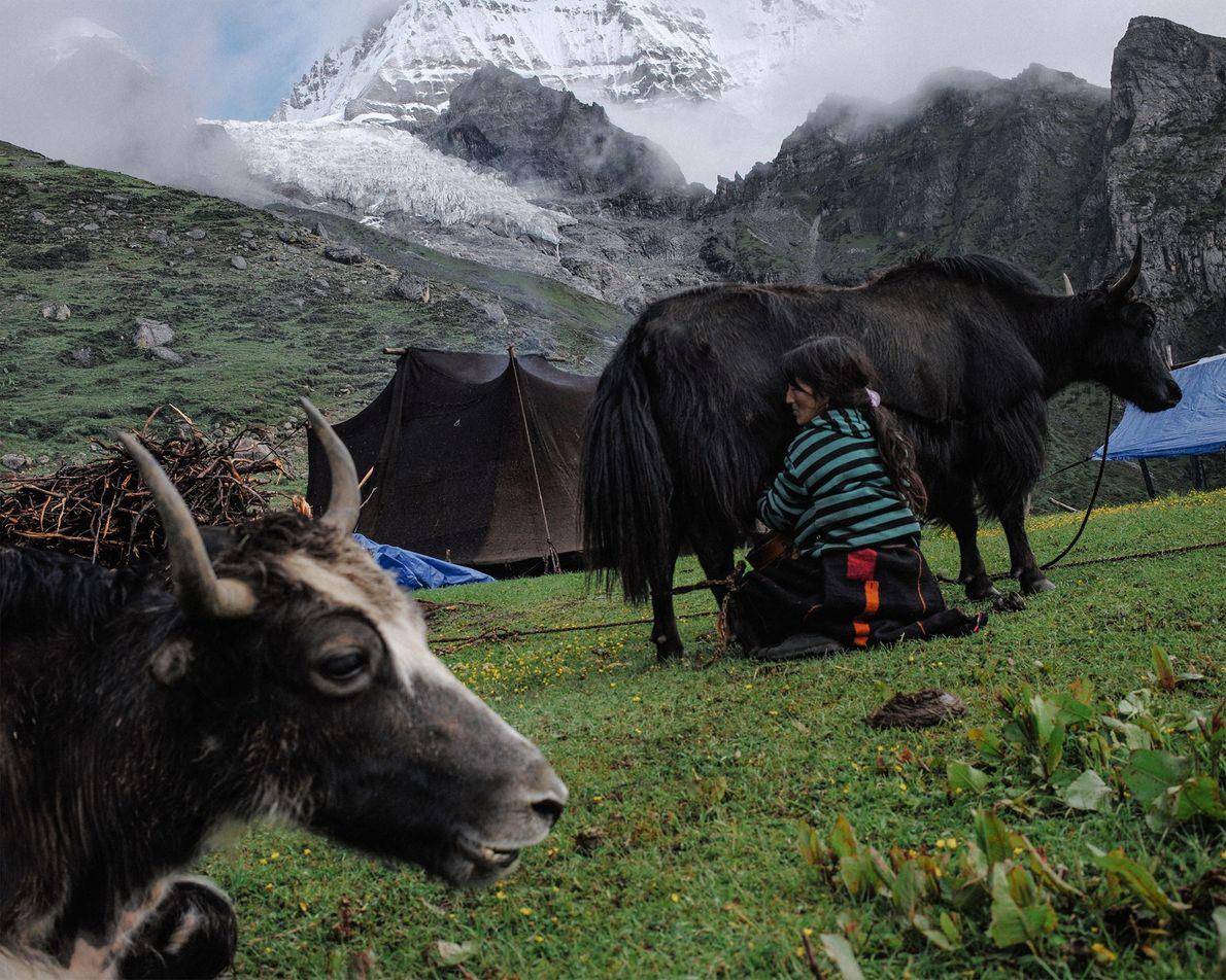 Die 43-jährige Tshering Om melkt im Sommerlager ihrer Familie ein Yak. Im Hintergrund ragt der Masangang-Gletscher ...