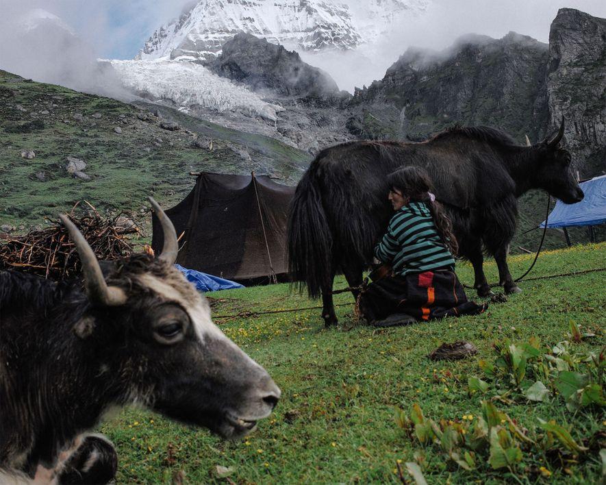 Die 43-jährige Tshering Om melkt im Sommerlager ihrer Familie ein Yak. Im Hintergrund ragt der Masangang-Gletscher …