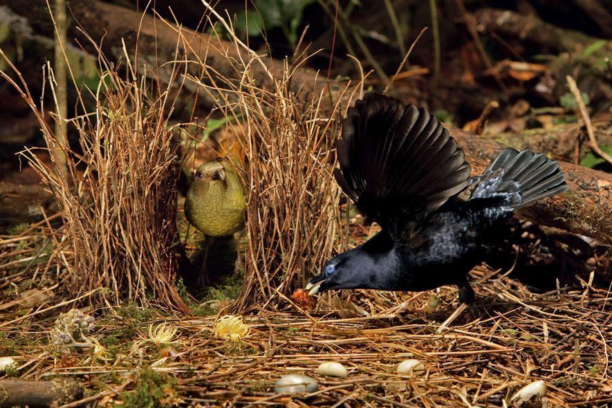 Ein Seidenlaubenvogel tanzt und schlägt mit den Flügeln für ein Weibchen. Sie beobachtet das ganze aus ...