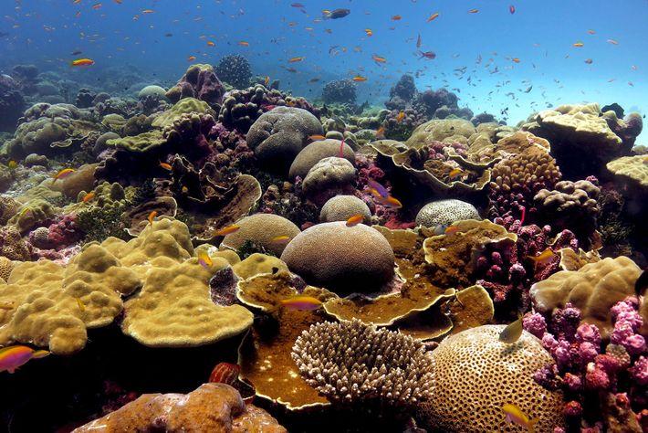 Die Korallen von Kiritimati – der Weihnachtsinsel – vor dem Ausbleichen 2016 und 2017.
