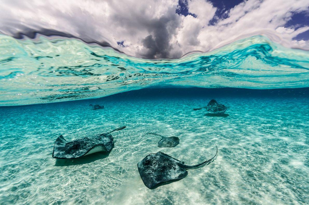 Stechrochen auf den Kaimaninseln, die knapp über dem Meeresboden schwimmen.