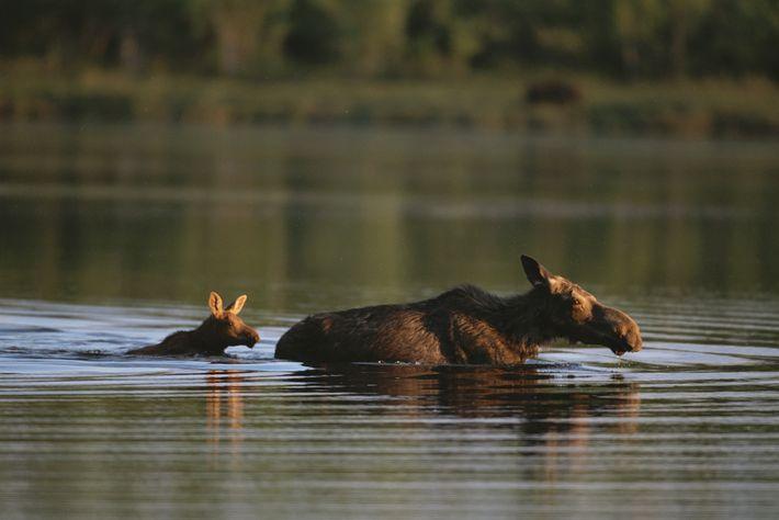 Eine Elchkuh und ihr Kalb waten durch einen See in Maine.