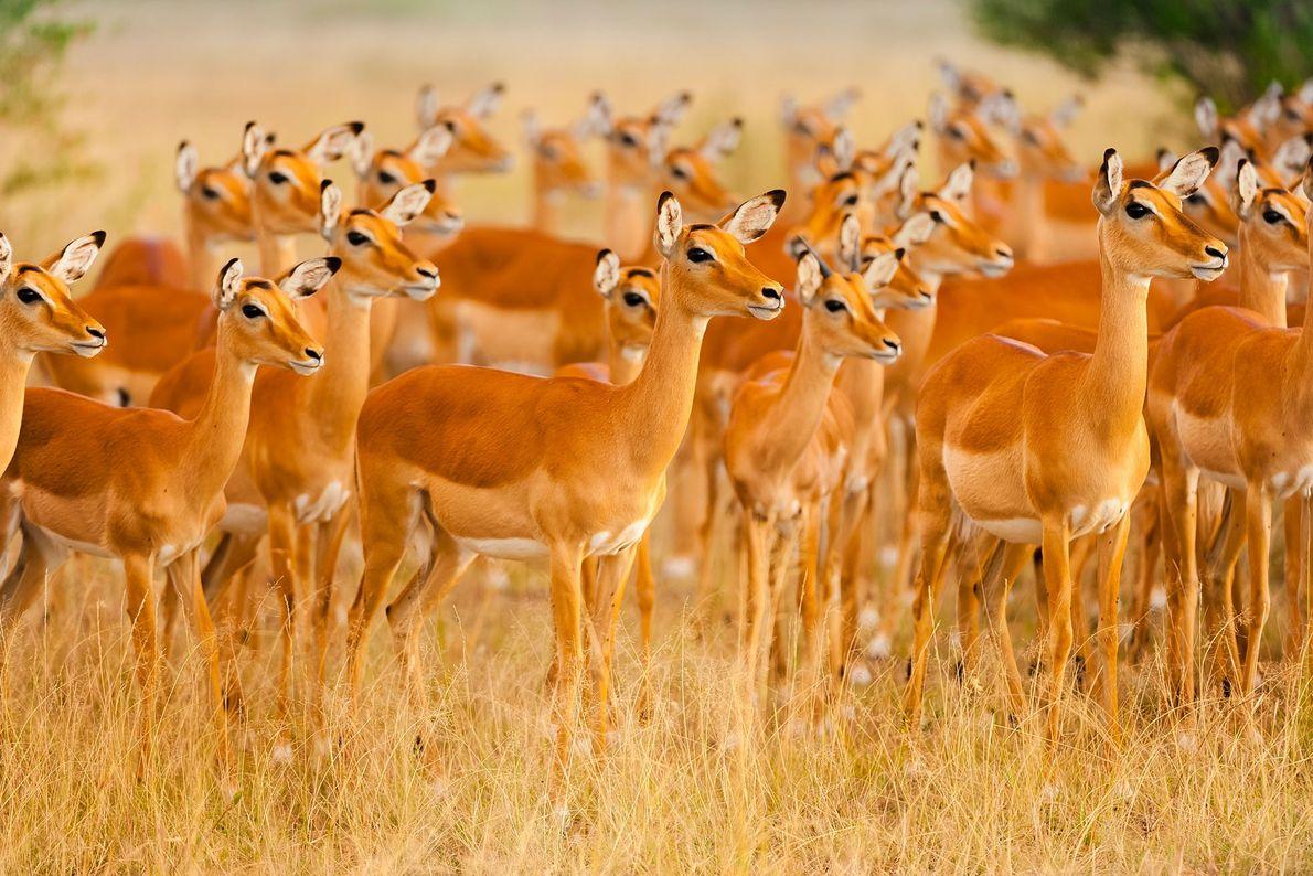 Weibliche Impalas stehen aufmerksam im Grasland des Naturschutzgebiets Masai Mara in Kenia.