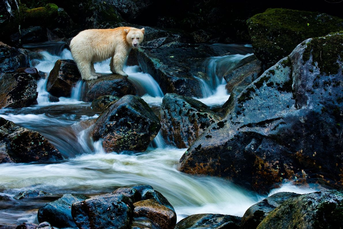 Die Kermodebären leben ausschließlich auf dem abgelegenen Archipel der mittleren Küste von British Columbia. Durch eine ...