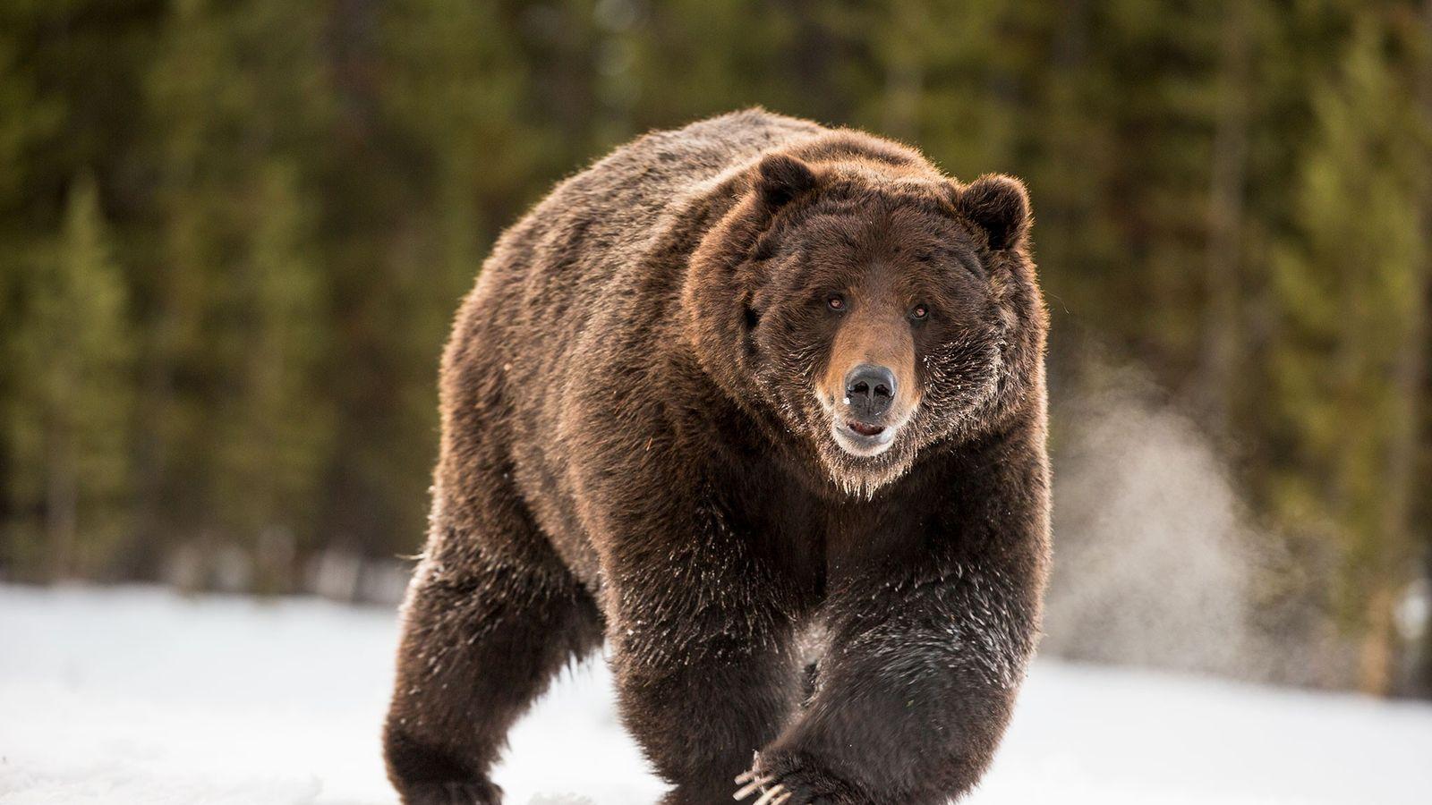Ein Grizzlybär läuft durch den Yellowstone-Nationalpark.
