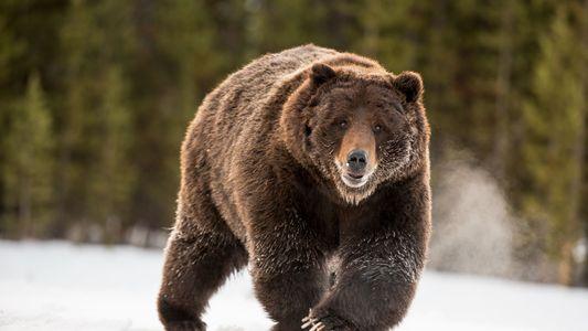 Galerie: Ausgestorbener Höhlenbär lebt in heutigen Tieren weiter