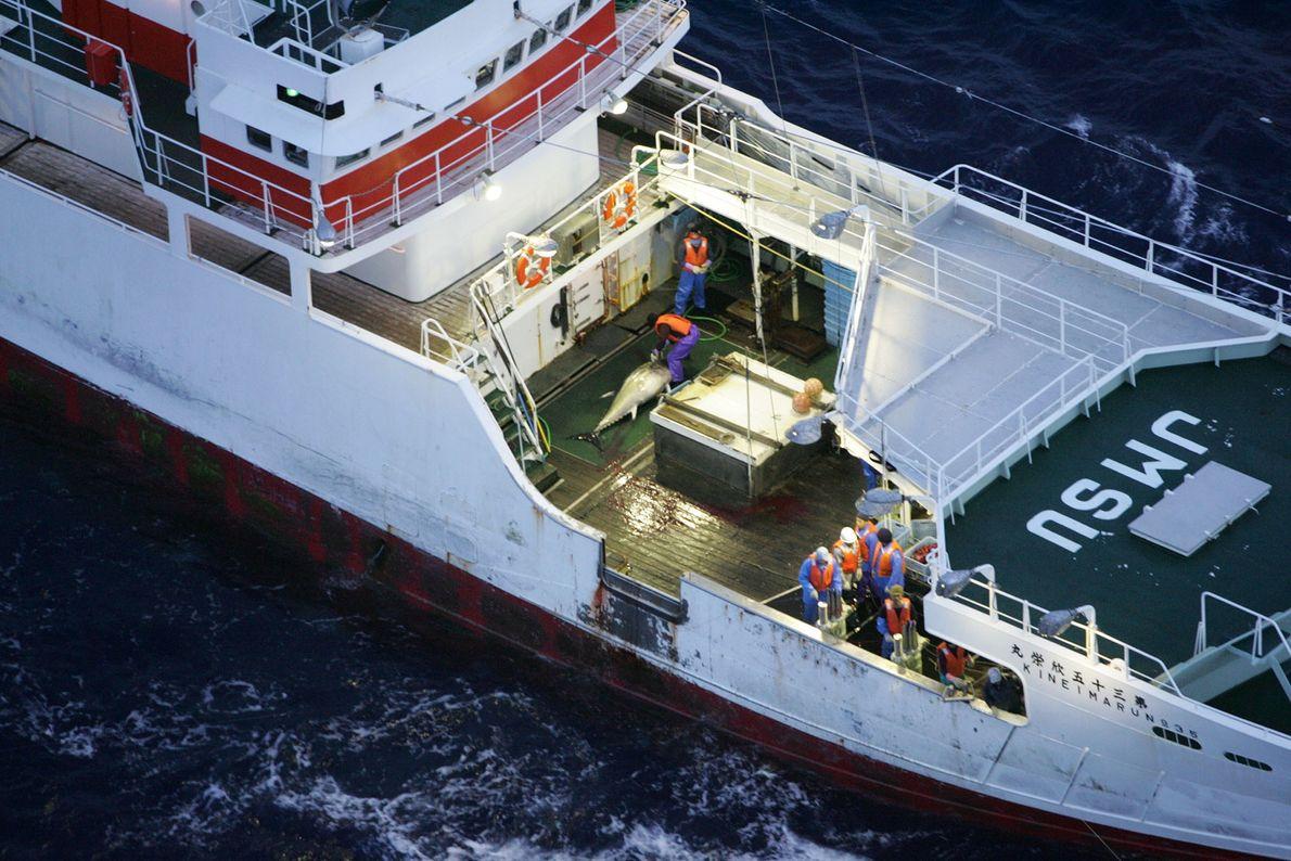 Eine Greenpeace-Gruppe ist unterwegs, um Blauflossen-Thunfische zu retten. Die Tiere kommen in den meisten Bereichen internationaler ...