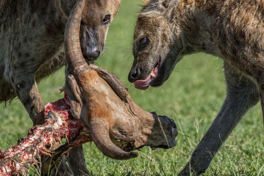 Tüpfelhyänen machen sich in Kenia über den Kadaver einer Kuh her. Die Tiere sind geschickte Jäger und können einzeln oder in Gruppen jagen.