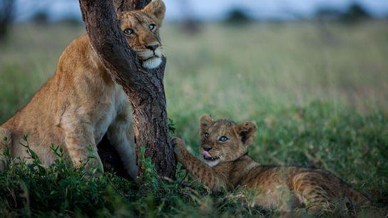 Junge Löwen an Baumstamm