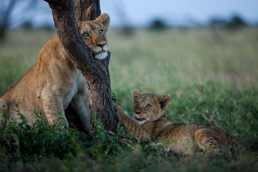 12 Einblicke in das Leben der Löwen Afrikas
