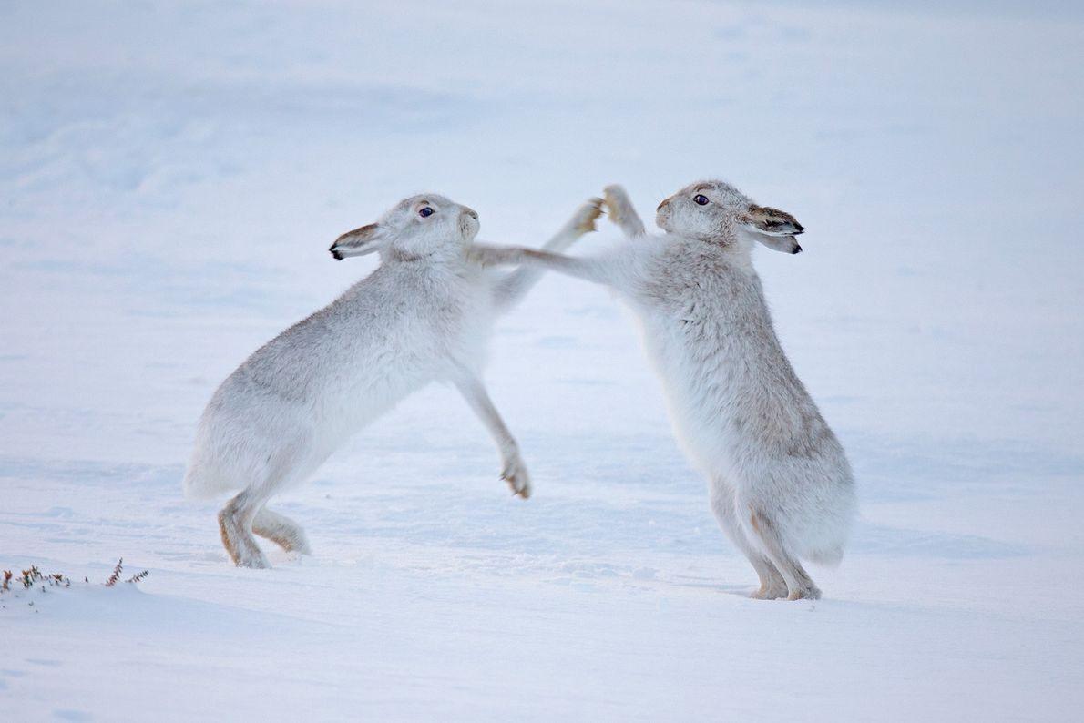In Schottland kämpfen zwei Schneehasen miteinander. Die Art ist gut an die Kälte angepasst. Wenn die ...