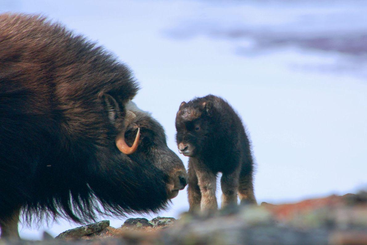 Ein neugeborenes Moschusochsenkalb begrüßt seine Familie.