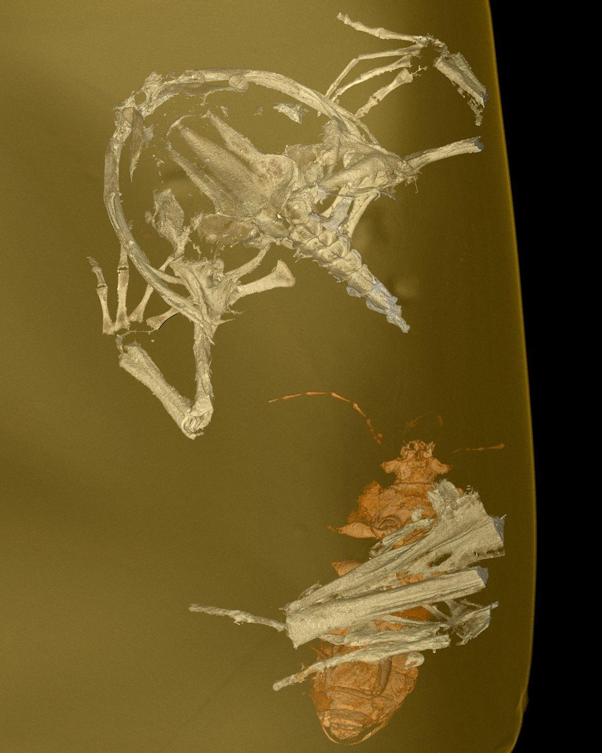 3D-Scans zeigen die feinen Details des Electrorana-Fossils.