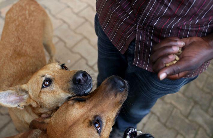 Der 24-jährige Hundetrainer Valens Hagenimana hält Leckerli in der Hand, während er Hunden Grundkommandos wie Sitz ...