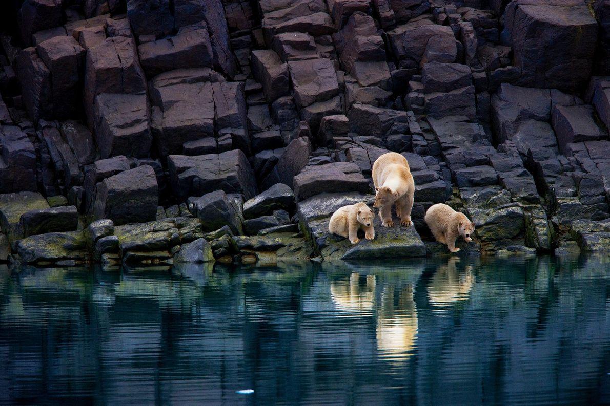 Eine Eisbärenmutter steht mit ihrem Nachwuchs an der felsigen Küste von Spitzbergen. Eisbären sind auf das ...