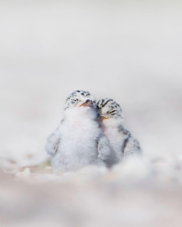 Seeschwalbenküken