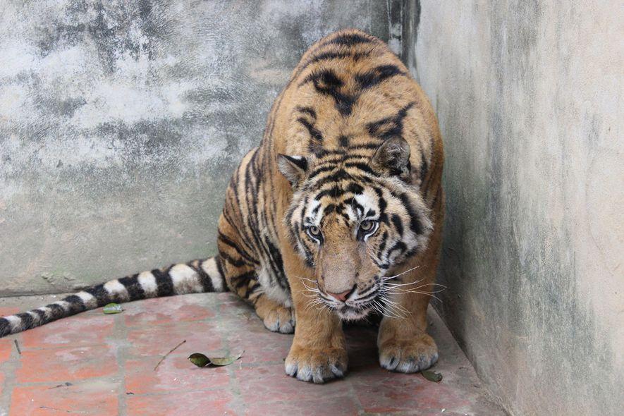 Ermittler der gemeinnützigen Organisation Education for Nature - Vietnam machten 2016 dieses Bild eines Tigers in ...