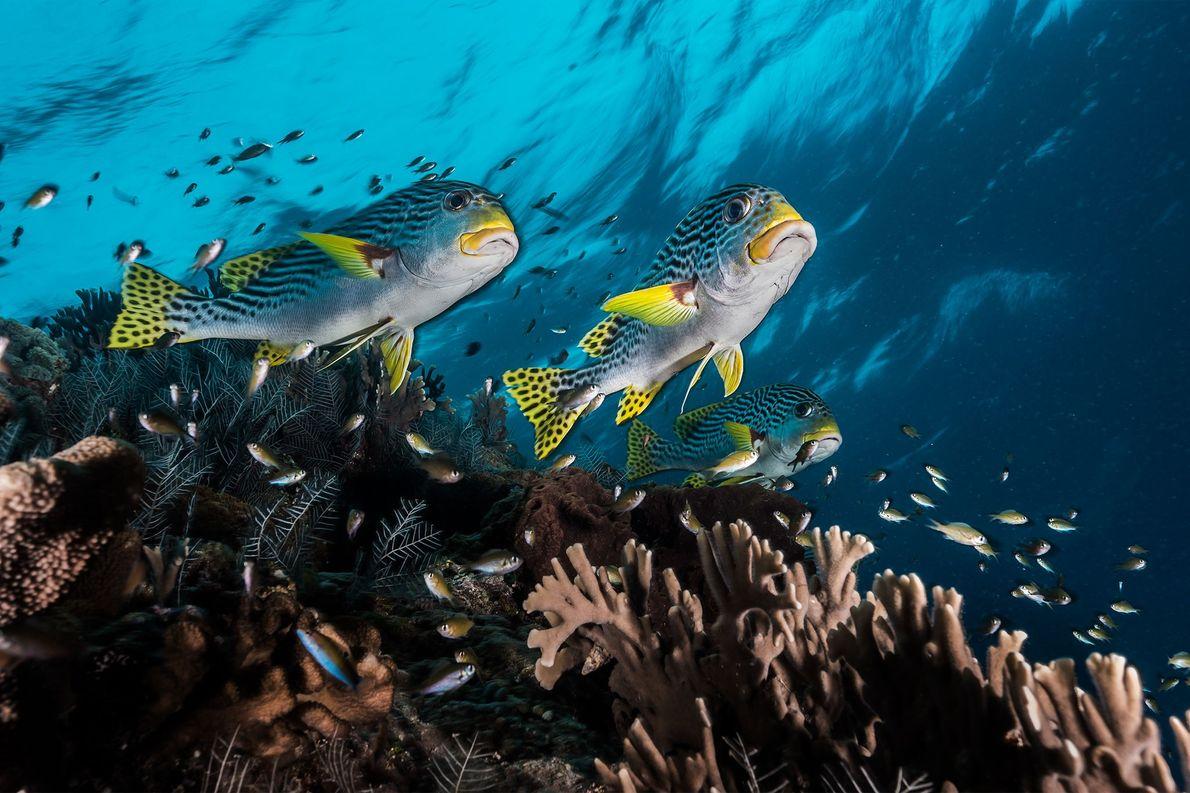"""Süßlippen schwimmen durch die Korallen von Tubbataha, das der Fotograf David Doubilet als """"eine echte Serengeti ..."""