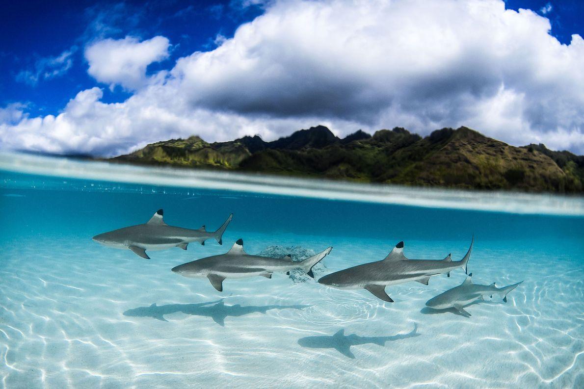 Kleine Schwarzspitzenhaie. Papeete, Iles du Vent, Französisch-Polynesien.