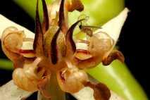 Eine Gallmücke bestäubt eine Kakaopflanze, die Pflanze, die die Hauptzutat für Schokolade liefert. Der berühmteste Kakaobestäuber ...