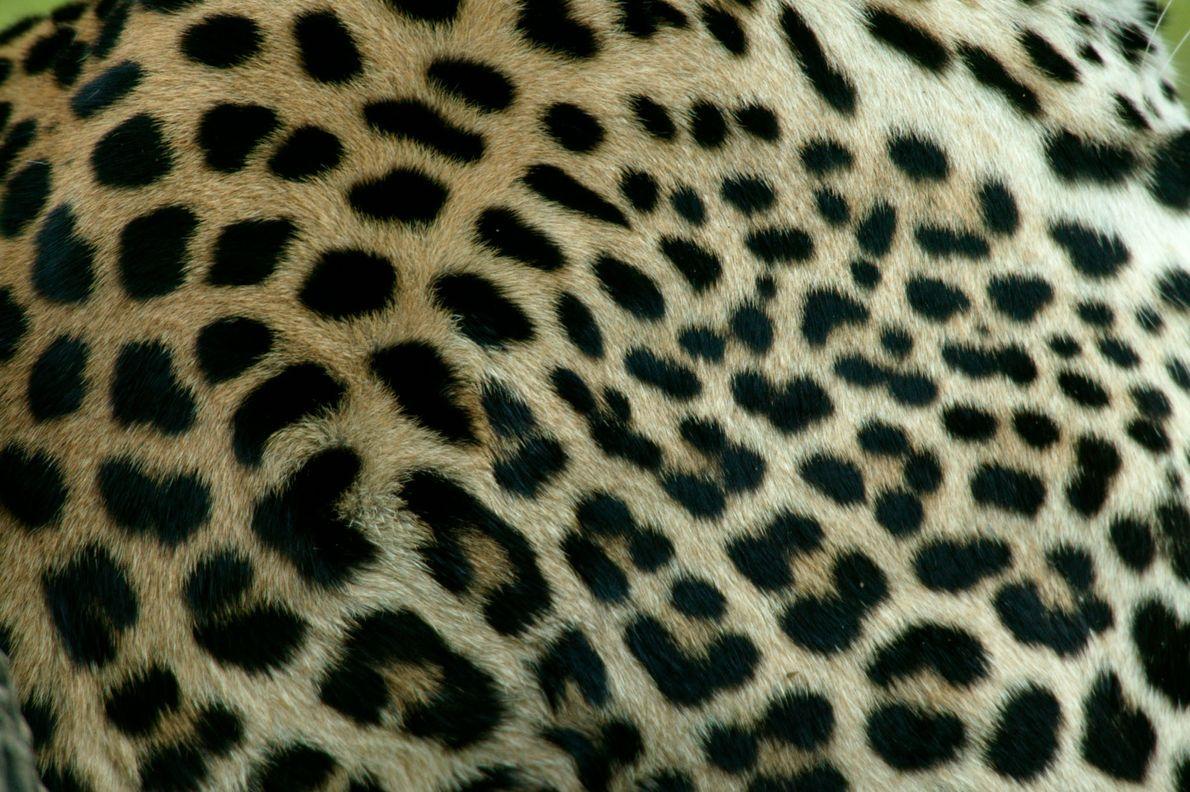 Nahaufnahme von Flecken auf dem Fell eines Leoparden.