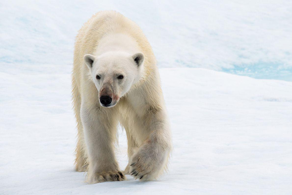 Ein junger Eisbär überquert das Eis in Nunavut, Kanada. Der Fotograf erinnert sich daran, wie sich ...