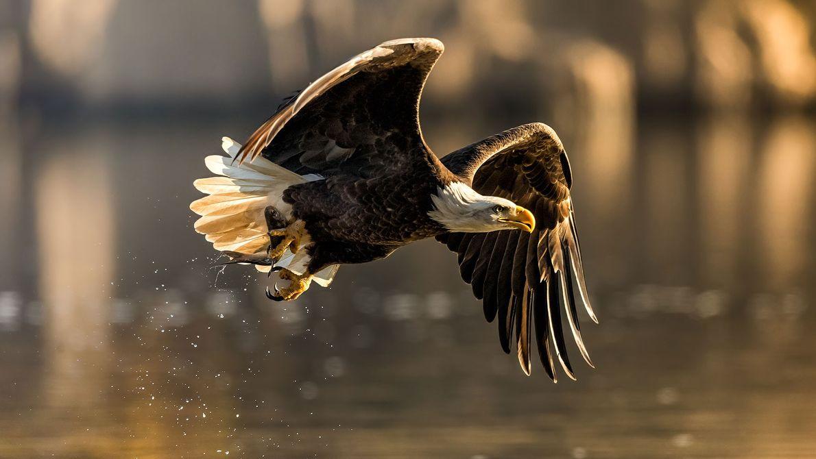 Weißkopfseeadler. Susquehanna River, USA.