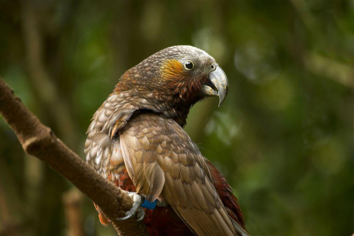 Kakas waren in Wellington einst lokal ausgestorben und sind nun wieder so zahlreich vertreten, dass sie ...